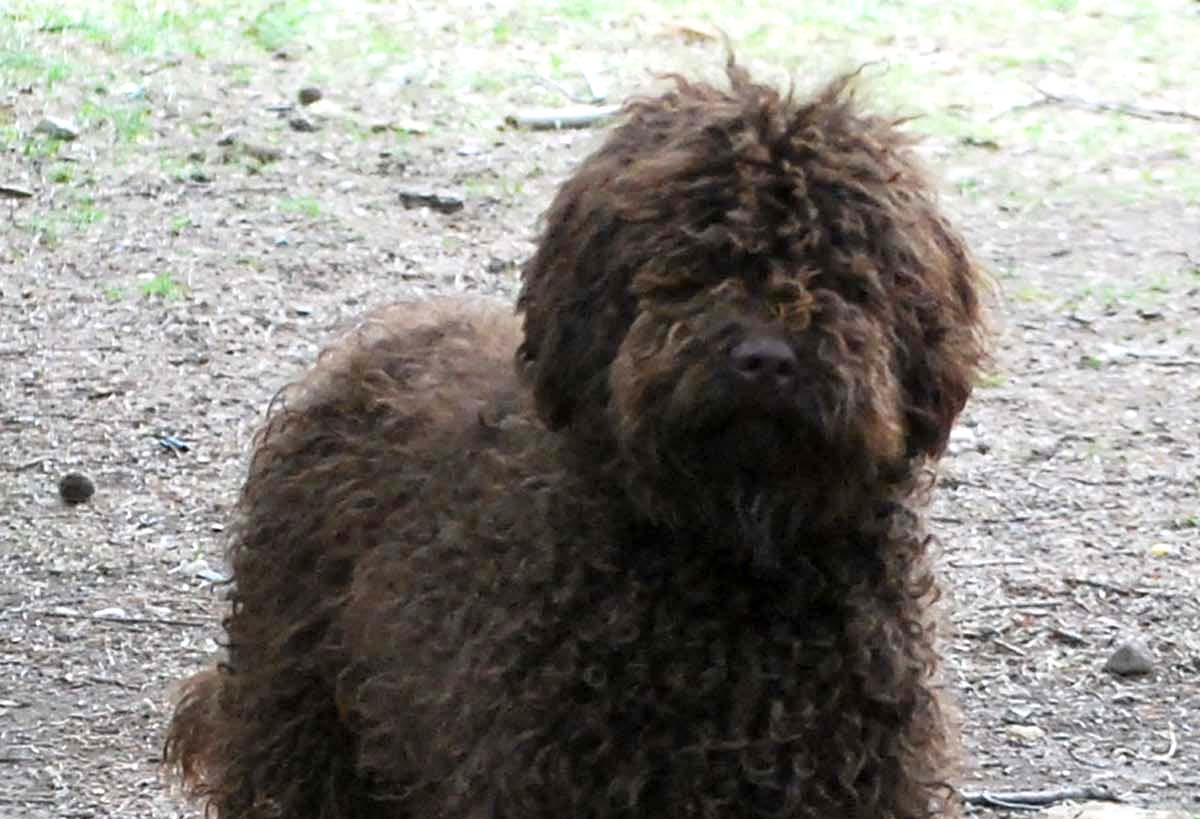 Henry_chocolate_australian_labradoodle_9months